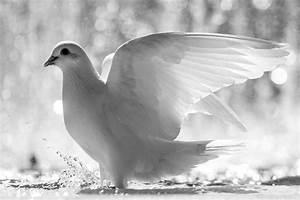 Weiße Taube *** HD Desktop