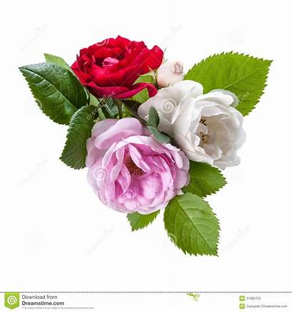 Rose Flowers Leaves Rosa Nam Roze Bloemen