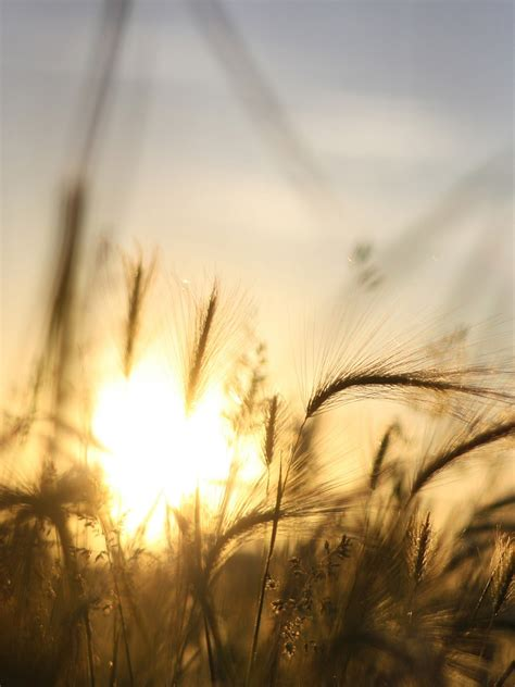 sunrise field grass android wallpaper