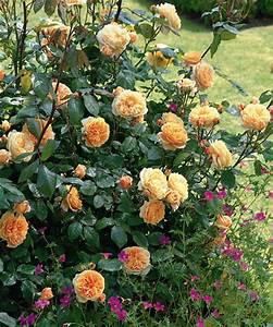 Begleitpflanzen Für Rosen : pflanz und pflegeanleitung f r rosen ~ Orissabook.com Haus und Dekorationen