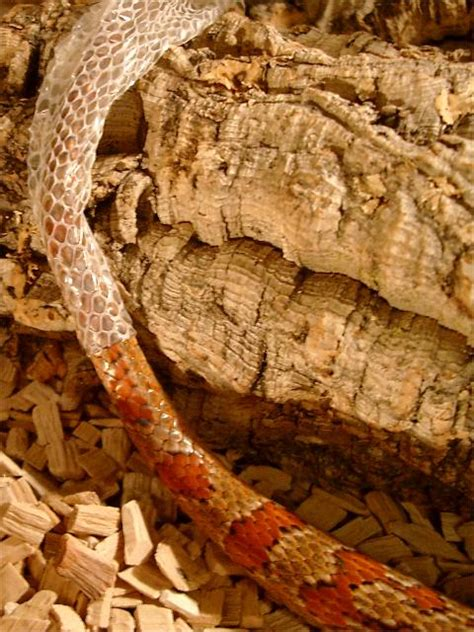 Corn Snake Shedding Skin by Snake Shedding Skin Picture