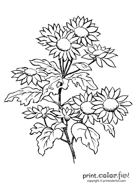 daisy flowers coloring page print color fun