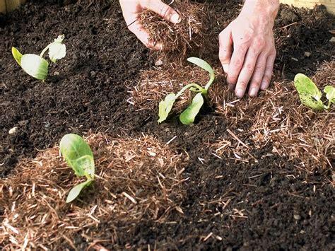 best mulch for veggie garden growing zucchini from plug plants how tos diy
