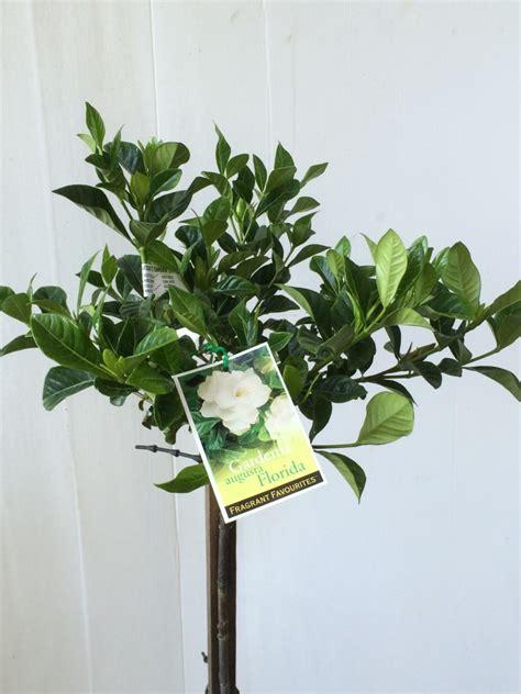 standard gardenia augusta florida common  fragrant