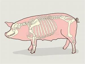 Pig Skeleton  Vector Illustration  Pig Skeleton Diagram