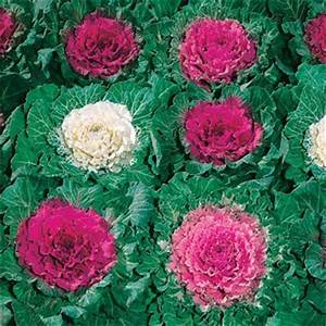Ornamental Cabbage Seeds - Ornamental Brassica Flower Seed