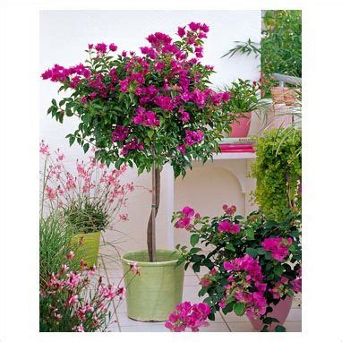 planting bougainvillea in pots gap photos garden plant picture library bougainvillea gaura karalee and