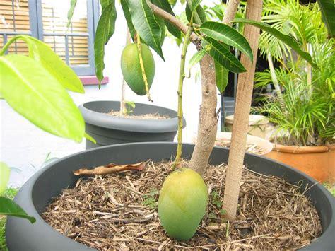 forum fruit trees in pots