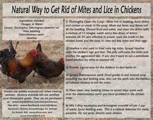 how to get rid of ear mites in cats rid mites naturally aviary birds chickens care