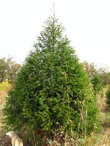 douglas fir hutton loyd tree farm