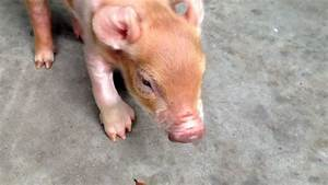 Baby Pig Born With Extra Hooves And Dewclaw