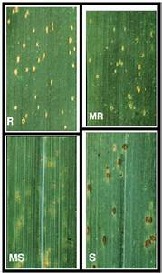 Relative Resistances Of Wheat To Leaf Rust  Source  Rust