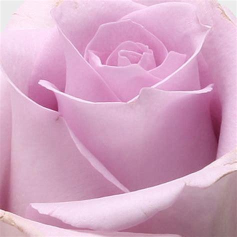 blumen schenken bedeutung symbolik der rosenfarbe blume 3000