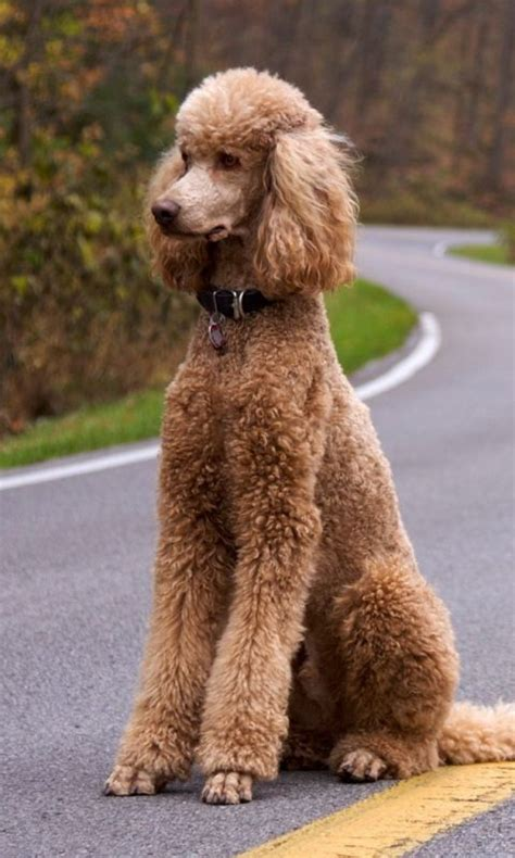 30 Female Cute Poodle Dog Names Pupstoday