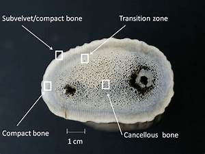Cross Section Of Antler Showing The Four Histological