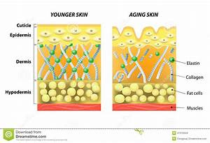 Younger Skin And Older Skin Stock Vector