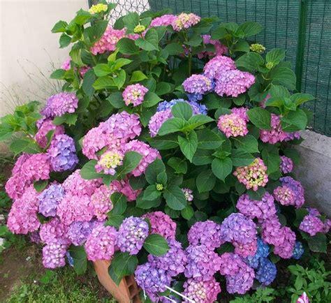 come curare l ortensia in vaso come coltivare le ortensie fiori in giardino consigli