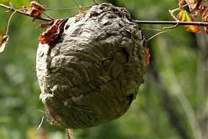 Nid De Guepe Dans Le Sol : 2 les diff rents nids anti gu pes et nuisibles ~ Dailycaller-alerts.com Idées de Décoration