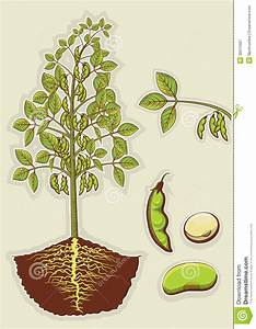 Soybean Plant.Vector Green Illustration Isolated F Stock ...