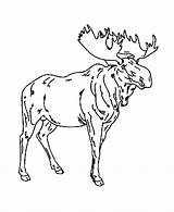 Moose Coloring Pages Wild Drawing Colouring Animals Animal Male Sheet Azcoloring Source Popular Site Honkingdonkey Fun Coloringhome sketch template
