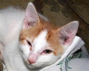 cat ear mites ear mites in cats pictures to pin on pinsdaddy