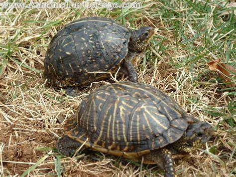 Heat Ls For Box Turtles by Care Sheet Florida Box Turtle