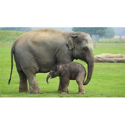 Asian elephantZoological Society of London (ZSL)