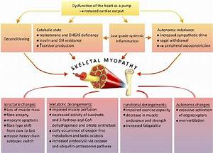 The Muscle Hypothesis In Heart Failure  Pathogenesis Of