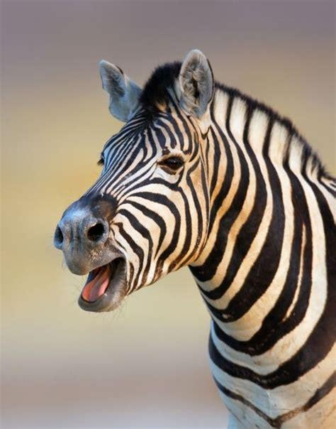 zebra zebras horses related calling portrait africa crazy giraffes they
