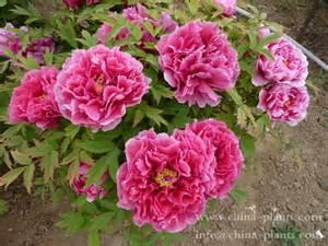 peonies wholesale tree peony flower zhongchuan peony nursery