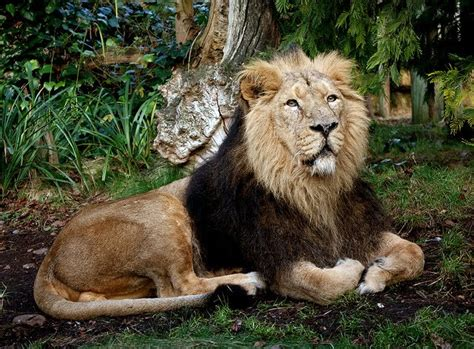 Latest News On Asiatic Lion