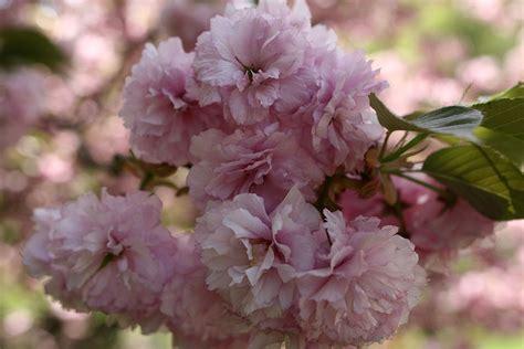 Filepinkflowerbloomtree  West Virginia Forestwander