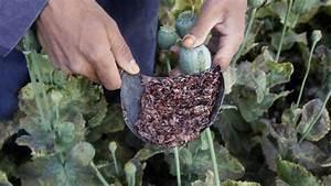 Image Gallery opium poppy heroin