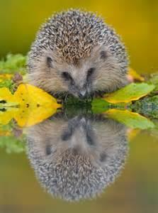 Reflection Hedgehog