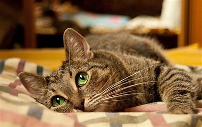Cat Android Eyes Wallpapers Cats Lies Kitten