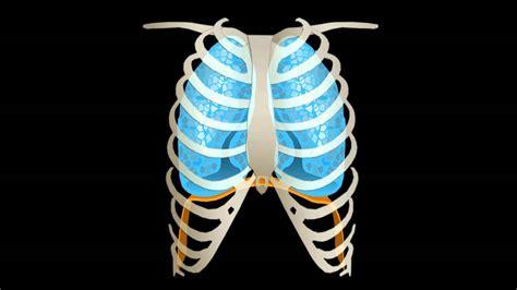 Anatomia Gabbia Toracica - gabbia toracica doovi
