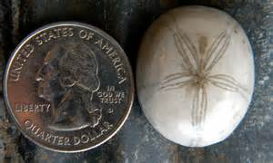 Sea Biscuit Sand Dollar Fossil
