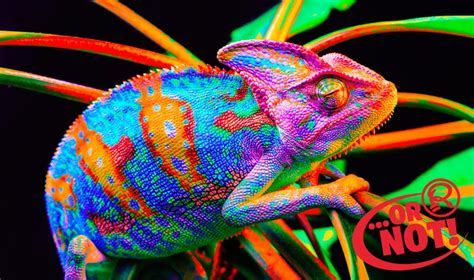 change color in picture or not chameleons change their color to match their