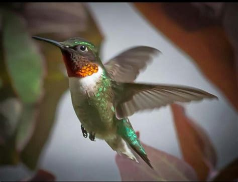 what is the only bird that can fly backwards humming birds are the only birds that can fly backwards animals and such birds
