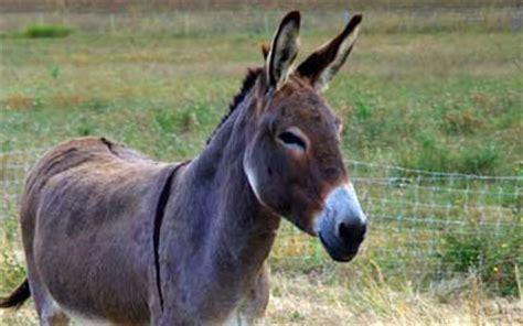 mula ou burro saude animal saude animal