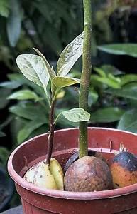 Avocado Baum Pflege : 98 besten pflanzen terrarienpflanzen ideen bilder auf pinterest zimmerpflanzen ableger und ~ Orissabook.com Haus und Dekorationen
