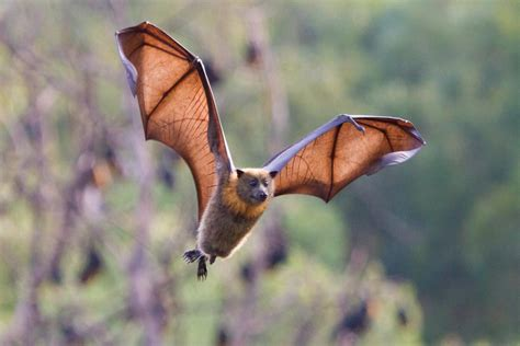 bats      ebola  strike