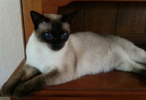 Siamese Cats Cross Eyed  About Animals