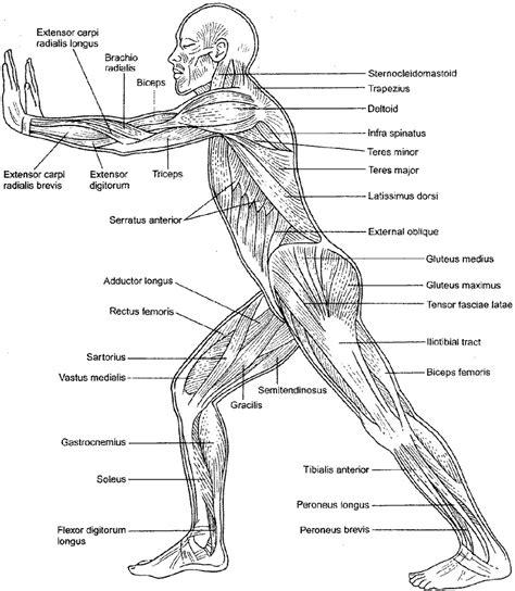 Muscular System Diagram Labeled And Worksheet  Printable Diagram