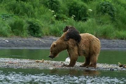 Bear Alaska Kodiak Wildlife Brown Anchorage Viewing