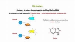 Dna Structure Nucleotide