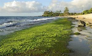 How Algae is Both Good and Bad for Marine Ecosystems