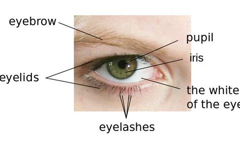 what is the colored part of the eye called file parts of the eye en svg wikimedia commons