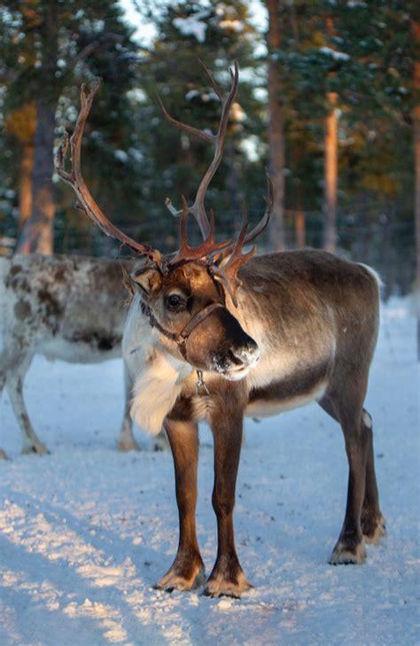 reindeer santa carrots munching santas