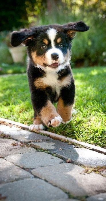 tri colored australian shepherd 90 best images about animals on